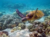 Havssköldpaddor på Barbados